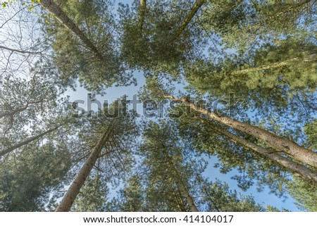 View looking straight up through tall trees