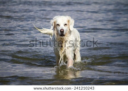 View of a cute wet white dog playing in the water.