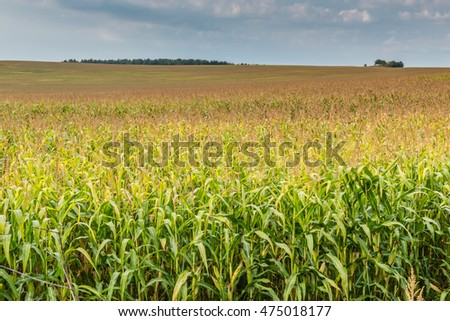 View of corn field.