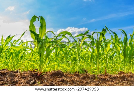 View of corn field and blue sky in summer day