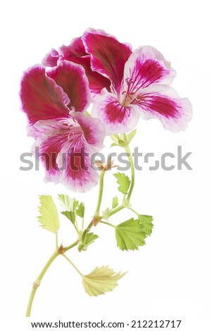 View of the flower of pansies on white background