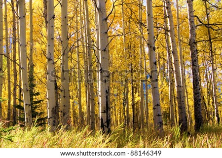 View through a vibrant aspen forest during autumn