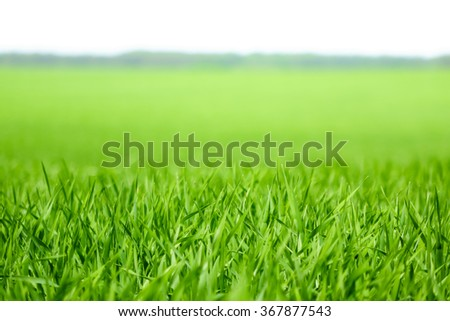 views of young green wheat field