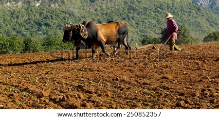 VINALES, CUBA - DECEMBER 11: A peasant wearing a straw hat works the soil with a wooden plough pulled by two brown oxes ,on december 11, 2014, in Vinales, Cuba