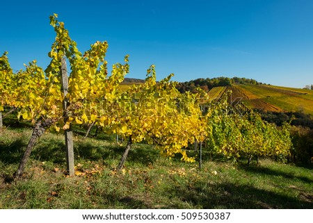 Vines in a vinyard in autumn colours and blue sky