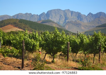 Vineyard in Montague, Route 62, South Africa,