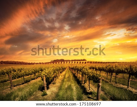 Vineyard in the Barossa Valley, South Australia