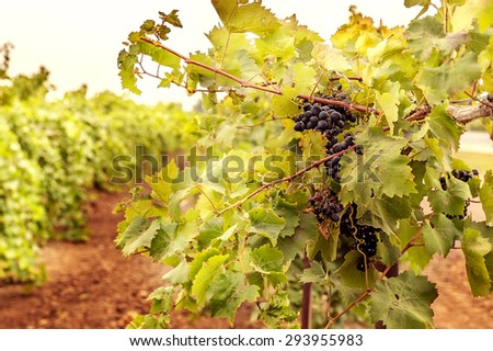 Vineyard. Preparing for the harvest