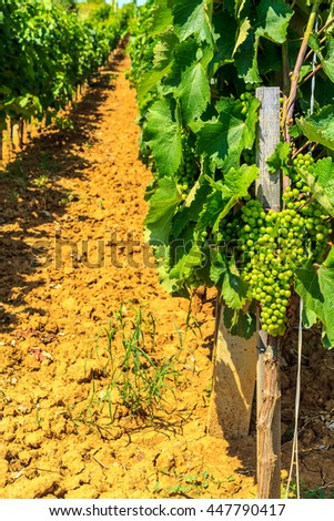 vineyards in Serbia