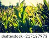 vintage photo of corn field - stock photo