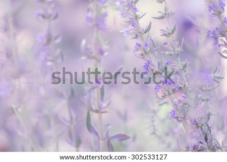 vintage soft purple flowers of Hyssopus officinalis (Hyssop)