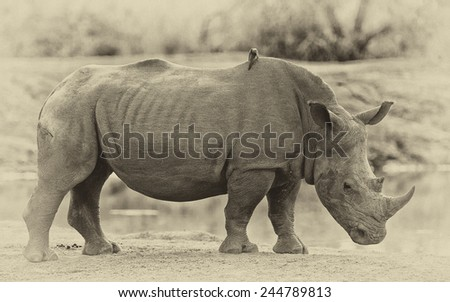 Vintage style image of a Rhinoceros in Hlane National Park, Swaziland
