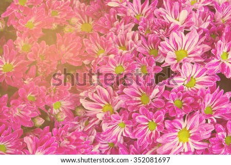 Vintage tone, Soft focus Pink chrysanthemums daisy flower for use as Background