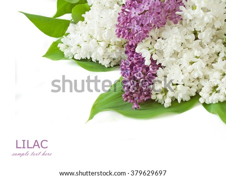 Violet and white lilac flowers bunch isolated on white background with sample text