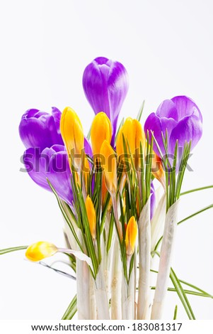 violet and yellow spring flowers of crocus isolated on white background