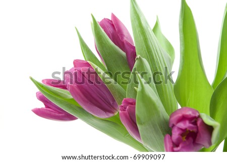 Violet tulips on white background