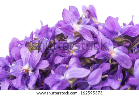 violets isolated on white background