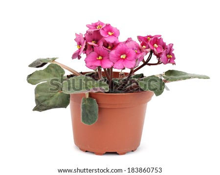 Violets or Saintpaulia flowers in flowerpot on a white background