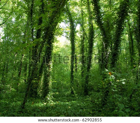 Virgin Forest, trees with ivy