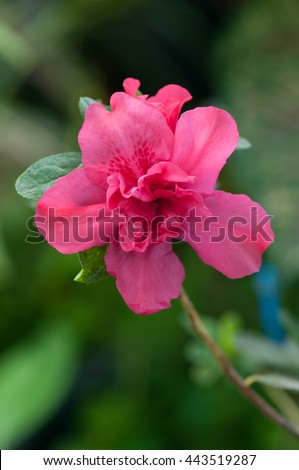 Pink roses symbolize love used widely stock photo for Flowers that represent love