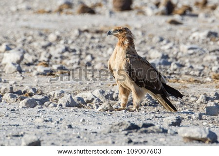Wahlberg's eagle in Etosha National Park, Namibia