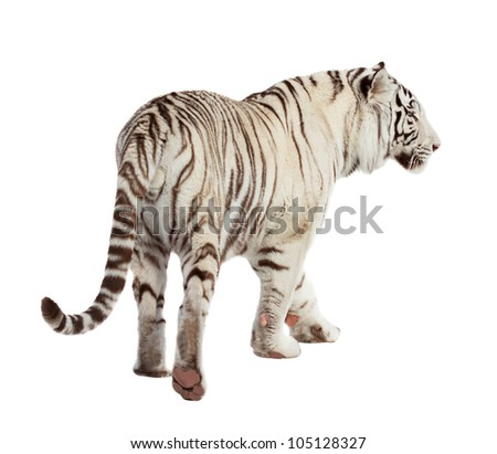 Walking white tiger. Isolated  over white background