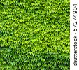 wall of wild grape leafs - stock photo