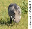 warthog in Botswana�´s nature reserve - stock photo