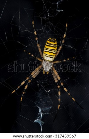 wasp spider with cobweb on black background