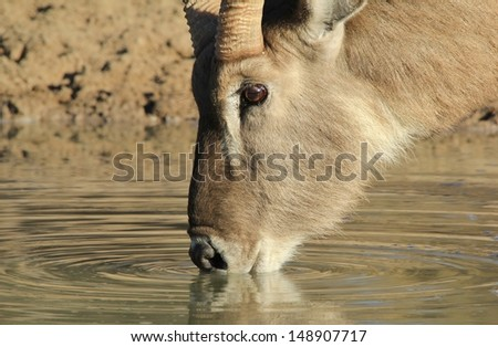 Waterbuck drinking water - Wildlife from Africa