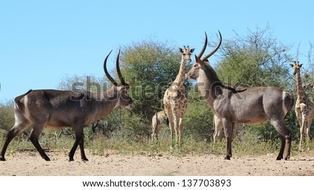 Waterbuck - Wildlife from Africa - Waterbuck bulls try to intimidate each other during the rut season, whilst Giraffe look on with no interest of joining in on the fight about to happen.