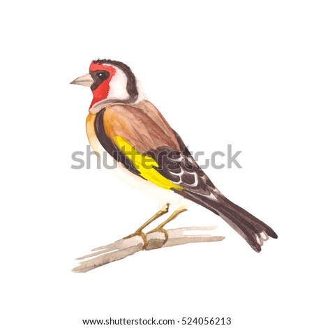 Watercolor handwork painting. A goldfinch bird on a white background.