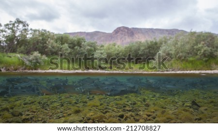 Waterline image of arctic char (Salvelinus alpimus) in clear water river, Greenland