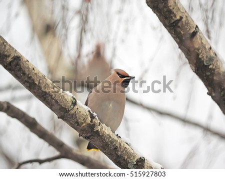 waxwings on branches