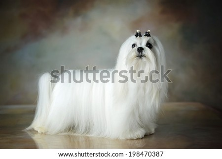 Well groomed beautiful white Maltese dog