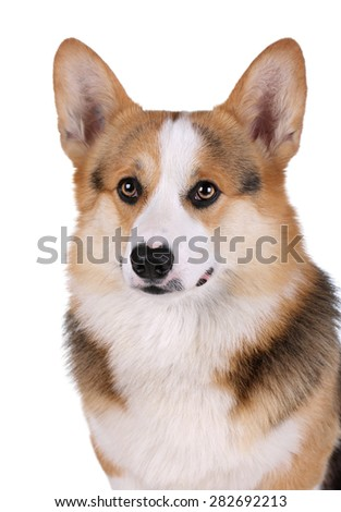 Welsh corgi cute dog on a white background
