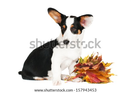 welsh corgi puppy with autumn leaves
