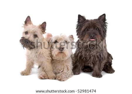 West Highland White Terrier and a cairn terrier dog isolated on a white background
