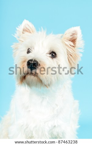 West Highland White Terrier isolated on light blue background