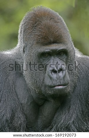 Western lowland gorilla, Gorilla gorilla, single mammal on grass
