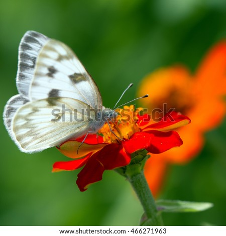 Western White Butterfly on native red zinnia flower