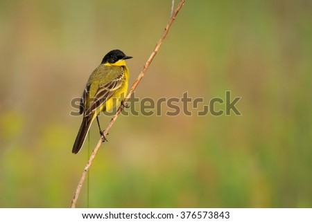 Western Yellow Wagtail (Motacilla flava) sitting on the twig with green, yellow and orange background. Small bird with yellow belly and black head sitting on the stick on the meadow.