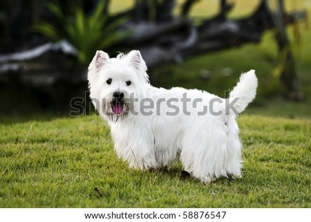Westie on the green grass