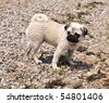 wet little pug standing on the beach - stock photo
