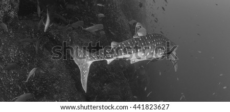 Whale shark in black and white