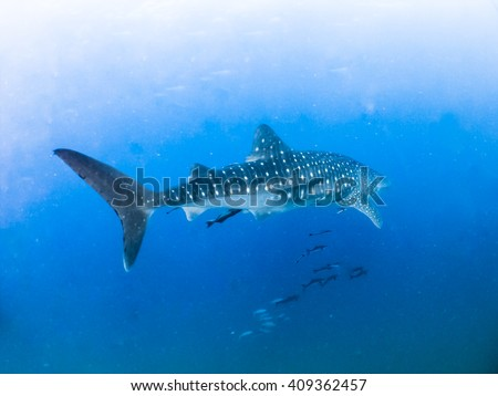 whale shark swimming Largest fish in the world Underwater Photos