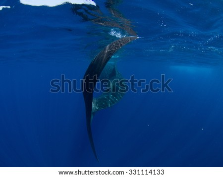 Whale Shark Tail, Isla Mujeres Mexico