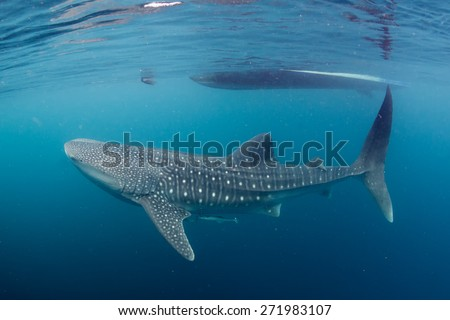 Whale Shark underwater with big open mouth jaws ready to move to a photographer scuba diver