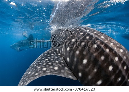 Whale Shark very near looking at you underwater in Papua