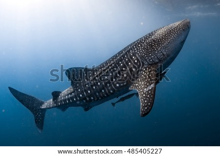 Whale Shark very near looking at you underwater in Papua it does not attack humans